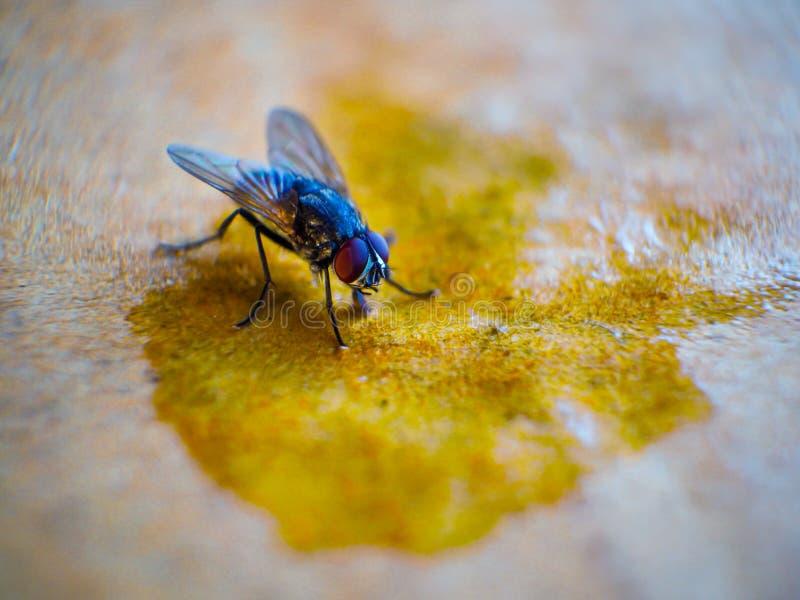 N?rbildskott av flugor royaltyfria foton