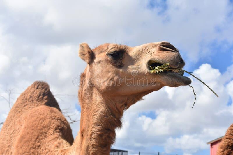 Närbildskott av kamlet som tuggar med långa ögonfrans arkivfoto