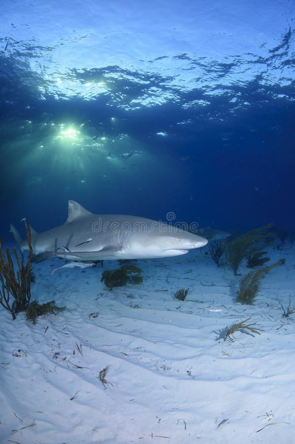 Närbildskottet av simning för citronhajen Dapple in ljus i Bahamas arkivbild