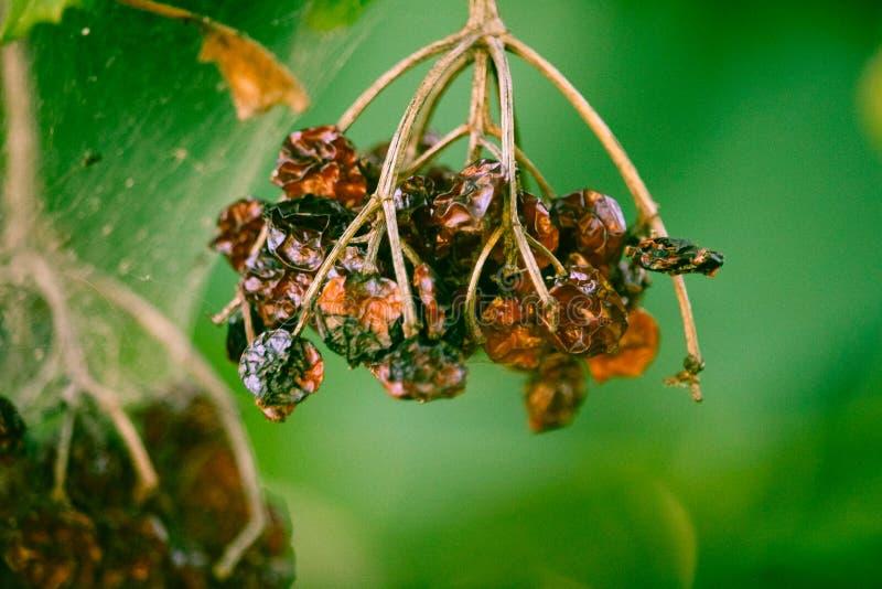Närbildskottet på hänga bär frukt med grön bakgrund arkivbilder
