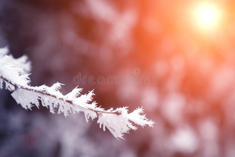Närbildsnö täckte trädfilialer frost snöstorm, häftig snöstorm Solljus på solnedgången royaltyfri foto