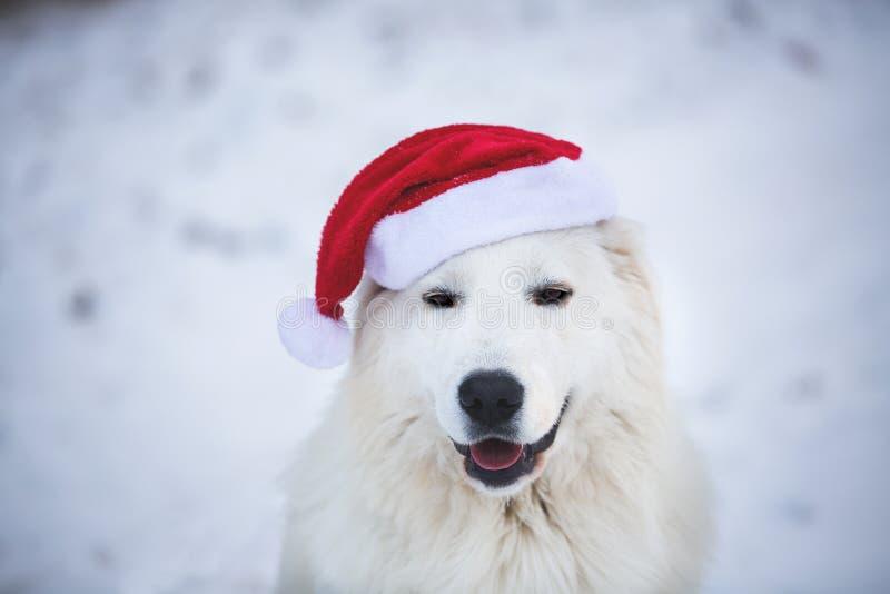 Närbildstående av den abruzzese fårhunden för härlig maremmano som sitter i skogen och den bärande röda Santa Claus hatten arkivfoton