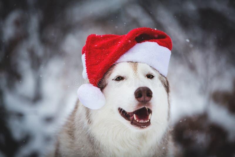Närbildstående av den gulliga Siberian skrovliga hunden som bär den Santa Claus hatten i vinterskogen på snöbakgrund arkivbild