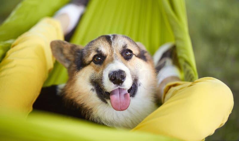 Närbildstående av den walesiska Corgipembroken för gullig hund som ligger i grön hängmatta med hans ägare Le Corgivalpen som in s royaltyfri fotografi