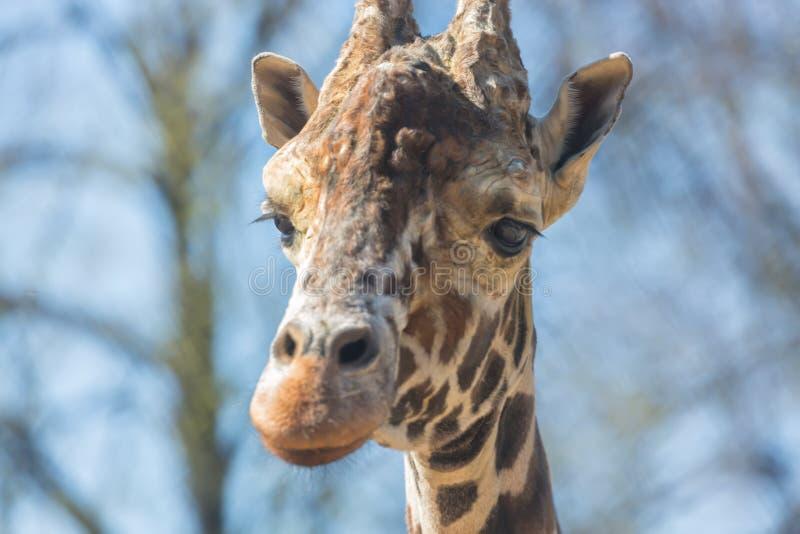 Närbildstående av en giraffhuvudGiraffa Camelopardalis royaltyfria foton