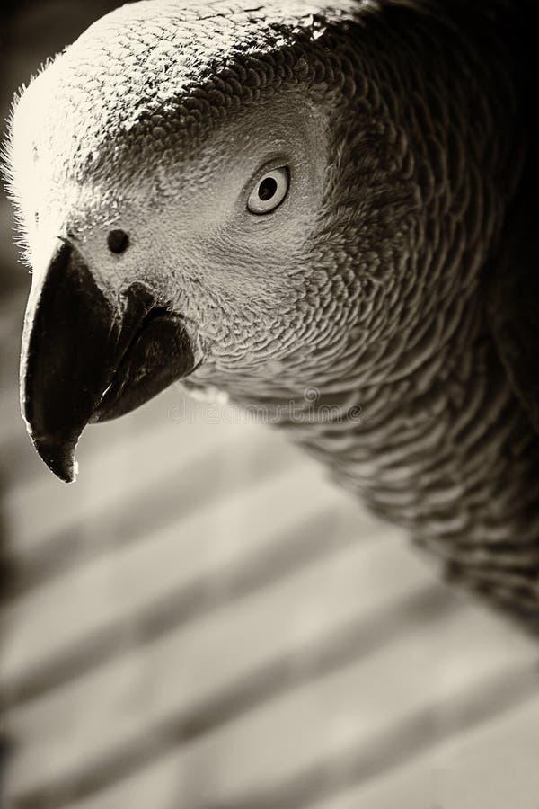 Närbildstående av en grå papegoja i svartvitt royaltyfri foto