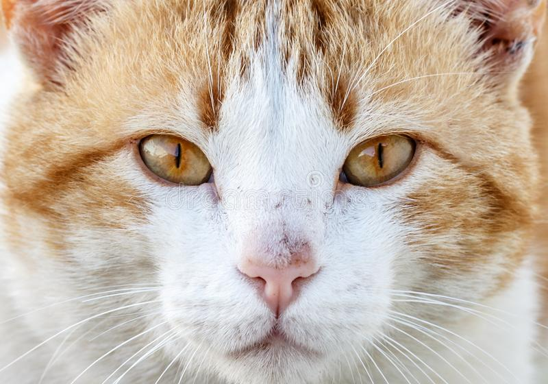 Närbildstående av en gullig apelsin- och vitkatt som ser rak på kameran arkivfoton
