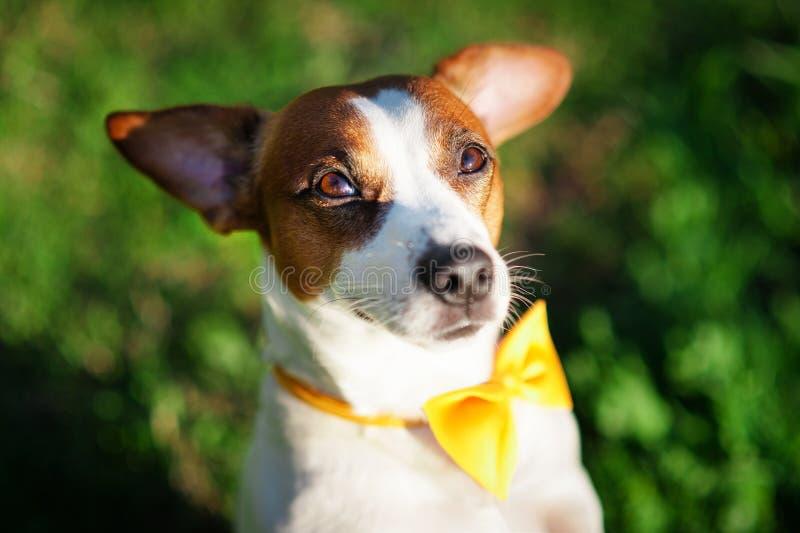 Närbildstående av en hund Jack Russell Terrier med en gul fjäril på hans hals mot en bakgrund av grönt gräs royaltyfri bild