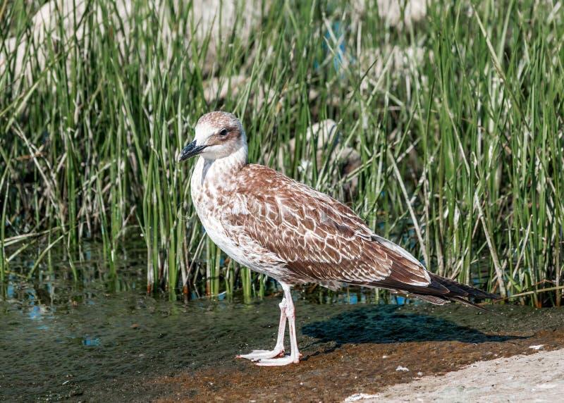Närbildstående av fågeln för seagull för singelgrå färgbrunt som går på våt sandkust i grönt gräs Härligt ljust naturligt arkivbilder