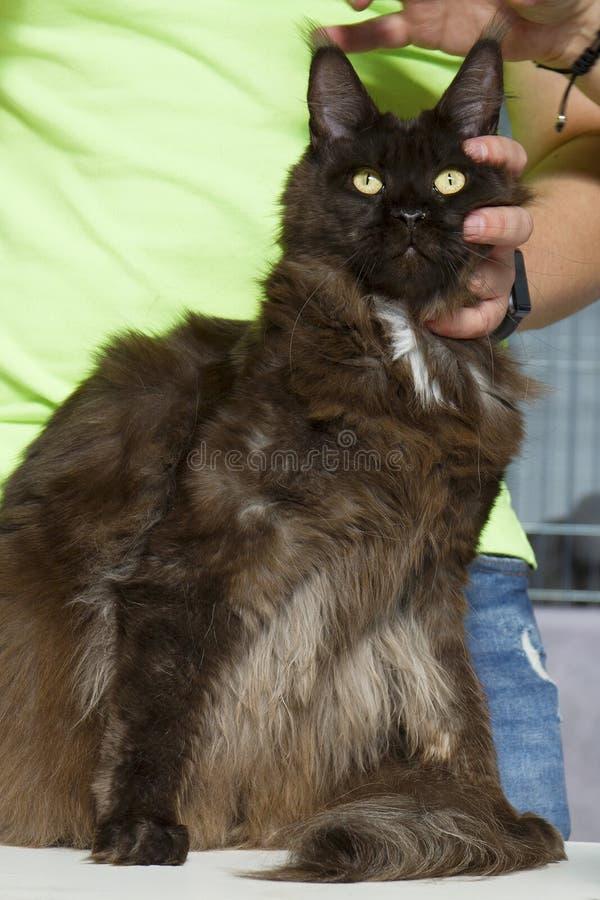 Närbildstående av förtjusande Maine Coon Cat Stare upp i katt- expo arkivbild