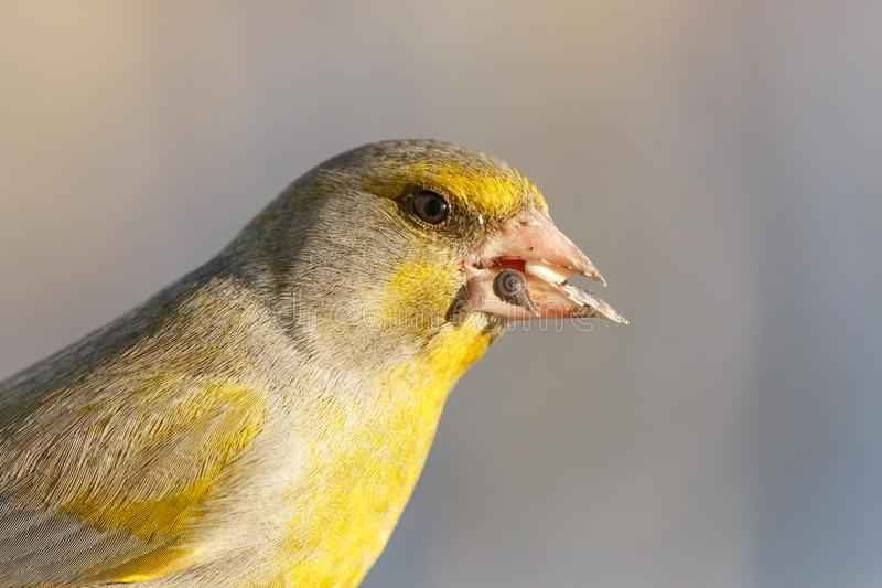 Närbildstående av manlig greenfinch med suddig bakgrund royaltyfri fotografi