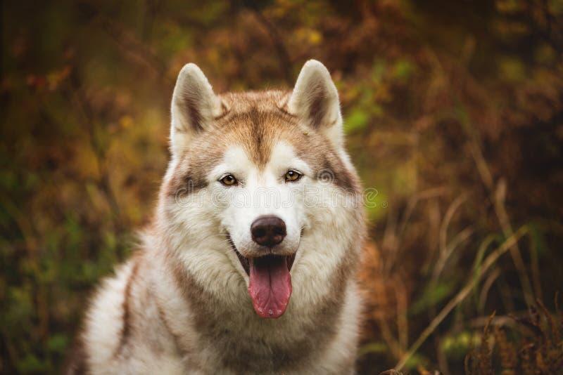 Närbildstående av ursnyggt beige Siberian skrovligt i nedgångsäsong på en skogbakgrund Bild av den skrovliga hunden i höst royaltyfri foto