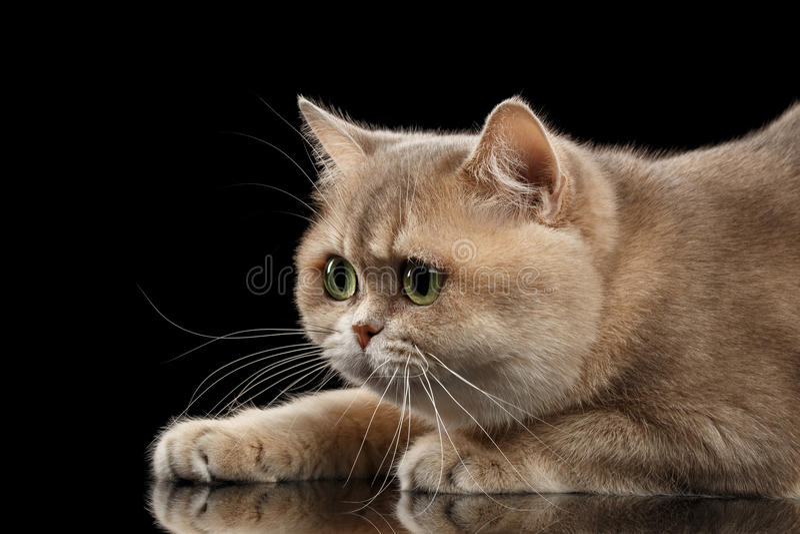 Närbildstående brittiska Cat Gold Chinchilla, i profil, isolerad svart fotografering för bildbyråer