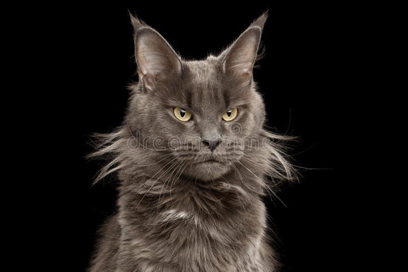 Närbildstående Maine Coon Cat på svart bakgrund royaltyfria bilder