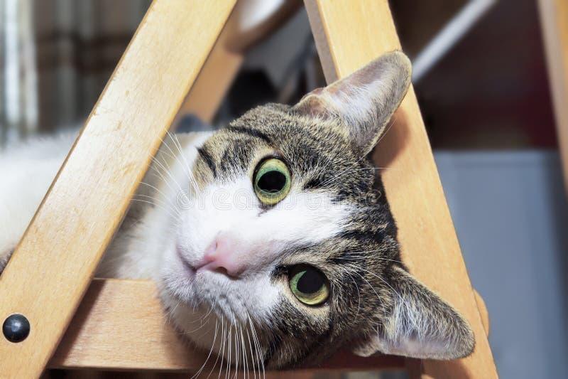 Närbildståenden av en inhemsk katt namngav Engels som ligger på ett trä royaltyfri fotografi