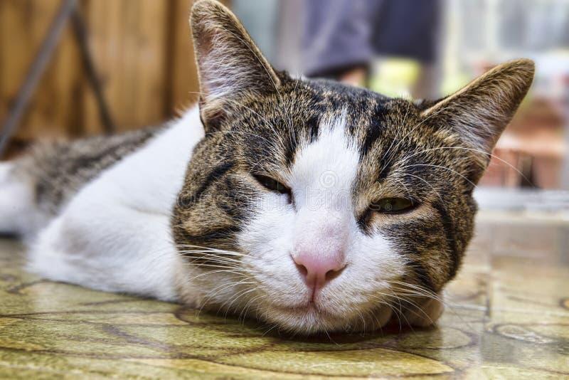Närbildståenden av en inhemsk katt namngav Engels som ligger på en floo royaltyfri bild