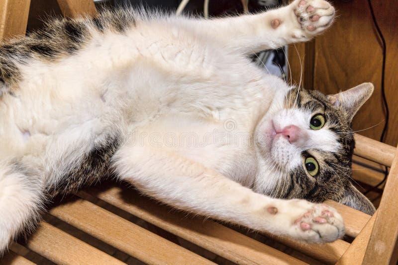 Närbildståenden av en inhemsk katt namngav Engels som ligger på en wood stol arkivbild