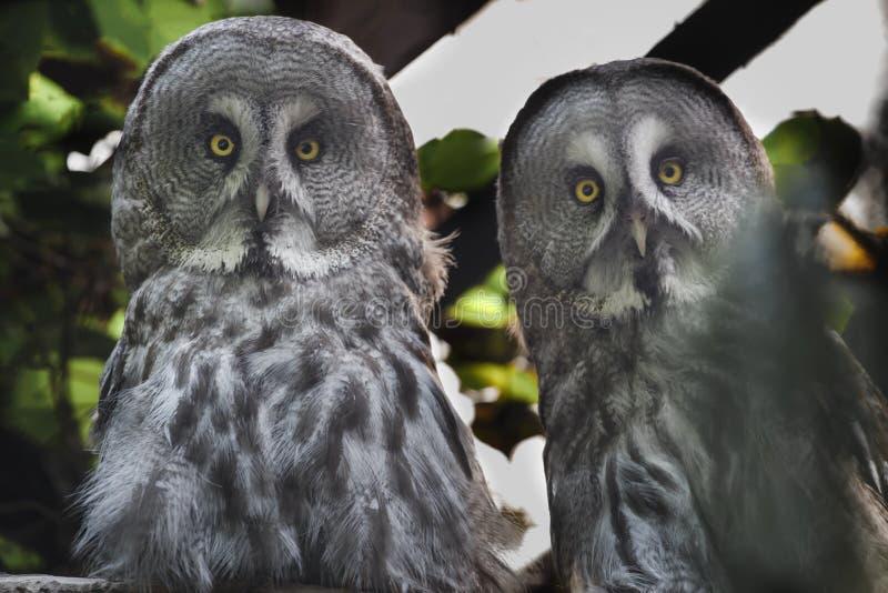 Närbildståenden av ugglor för stora grå färger parar att se kameran royaltyfria bilder
