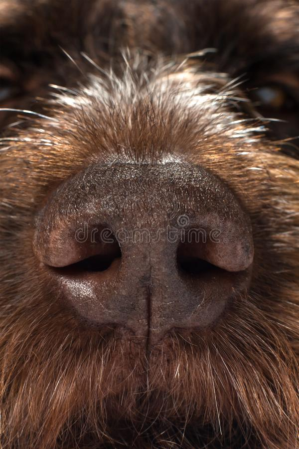Näsan av en jaga hund arkivfoton