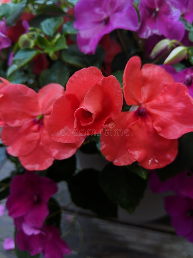 Nästan blommat arkivfoto