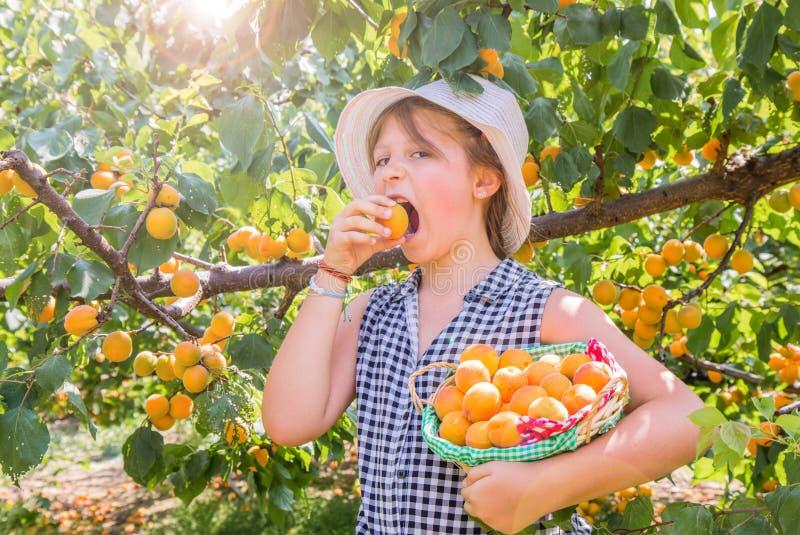 Nätt är unga flickan skördaprikors i en härlig dag för sommar royaltyfri bild