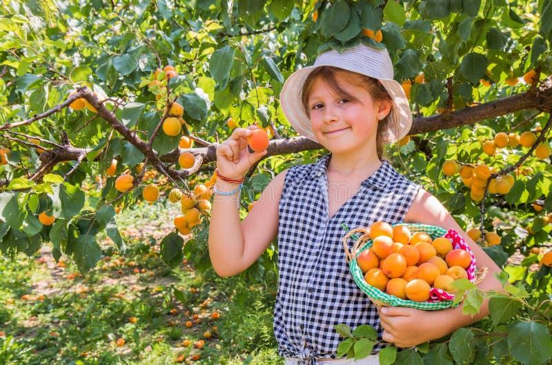 Nätt är unga flickan skördaprikors i en härlig dag för sommar arkivfoto