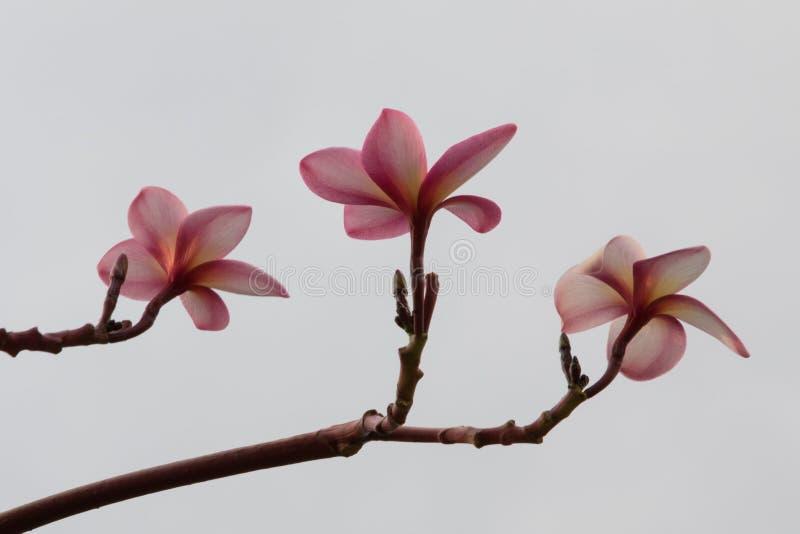 Nätt frangipaniblomma på en vit bakgrund i Singapore o arkivbild