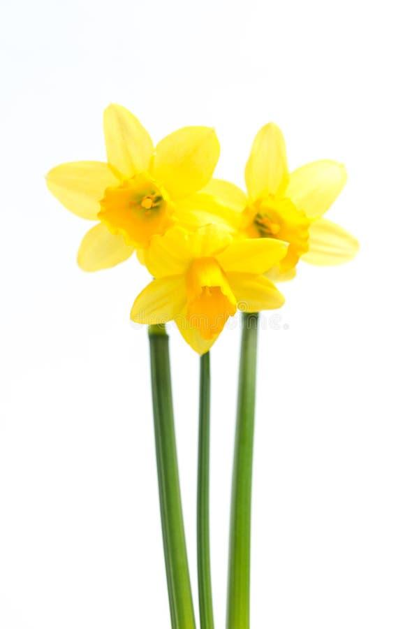 Nätt gula påskliljar med stems royaltyfria bilder