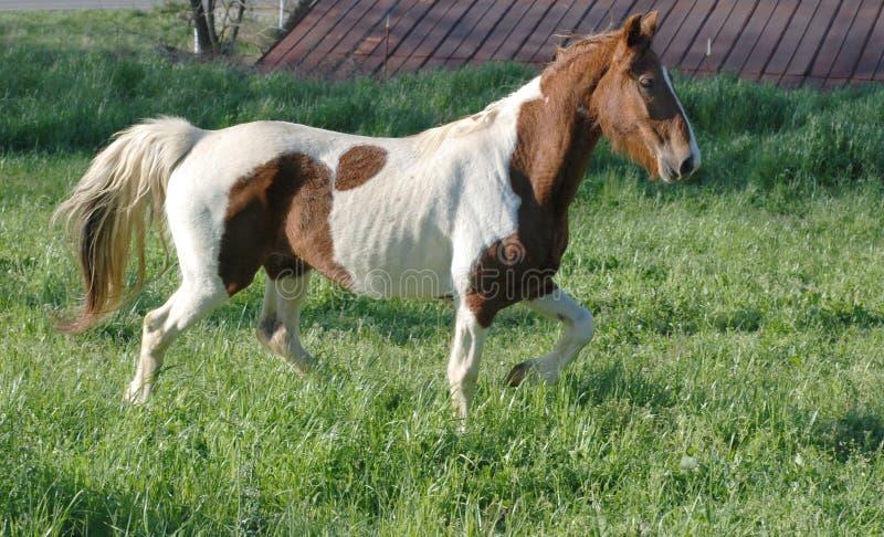 nätt hästmålarfärg arkivfoton