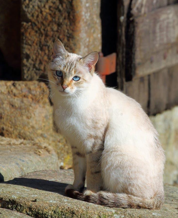 Nätt inhemsk katt med blåa ögon som sitter vid en stenvägg arkivfoto