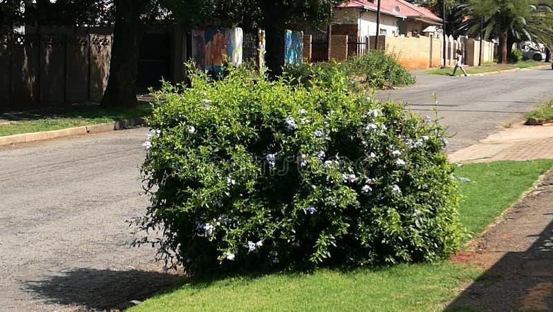 Nätt liten buske med purpurfärgade blommor royaltyfria bilder
