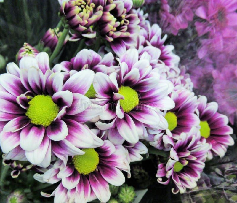 Nätt ljus & attraktiv vit & purpurfärgad Gerberatusenskönabukett arkivfoto