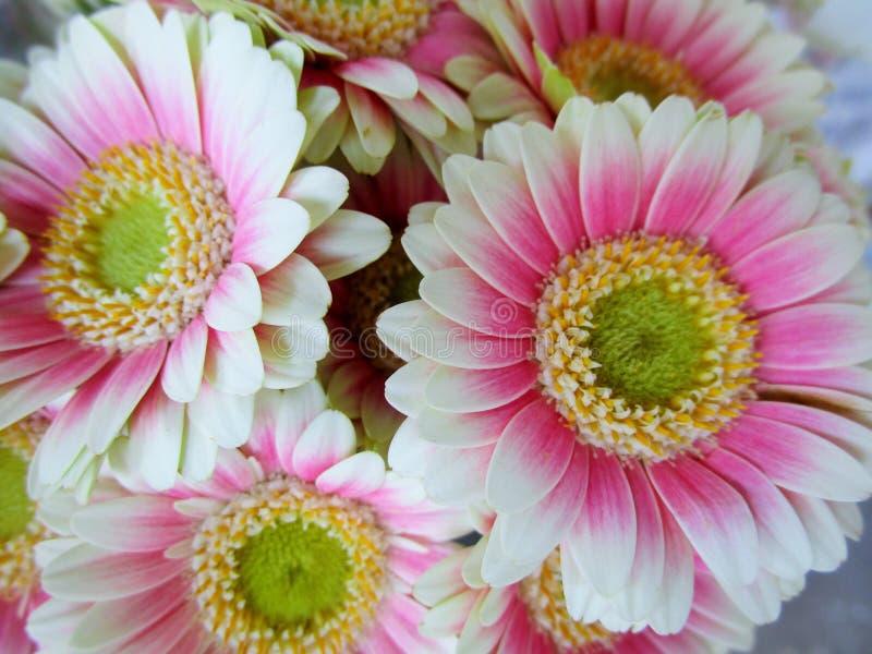Nätt ljus & attraktiv vit & rosa Gerbera DaisyFlowers royaltyfri bild