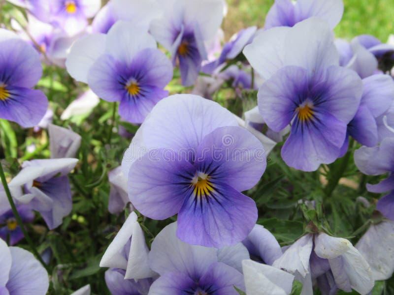 Nätt & ljust ljus - blåa Pansy Flowers Blossom In Vancouver parkerar trädgården i våren 2019 royaltyfria bilder