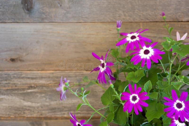 Nätt Pericallis Daisy Flower Bunch med sidor mot en lantlig brunt och Grey Wood Board Background med rum eller utrymme för kopia royaltyfri fotografi