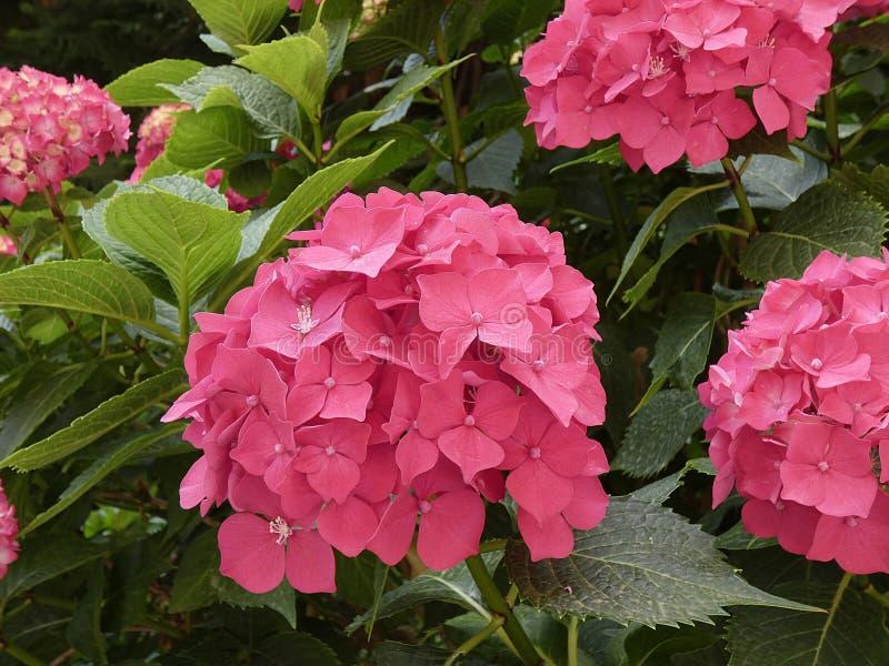 Nätt röd blomma av en vanlig hortensia royaltyfria foton