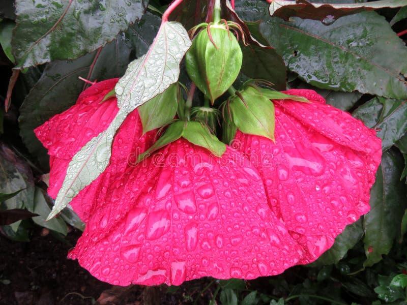 Nätt rött regn blötta hibiskusblommor royaltyfria bilder