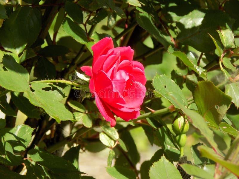 Nätt rosa färgros royaltyfri bild