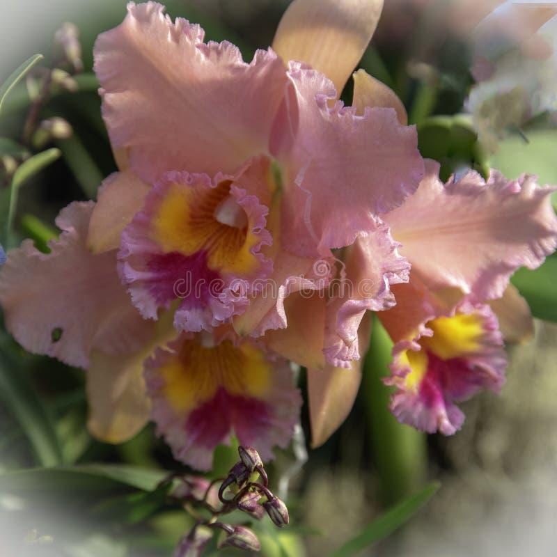 Nätt rosa orkidénärbildsikt arkivfoto