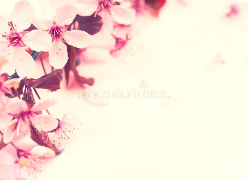 Nätt rosa plommon eller Cherry Blossoms på tom bakgrund med rum eller utrymme för text, kopia eller dina ord på sidan arkivbild