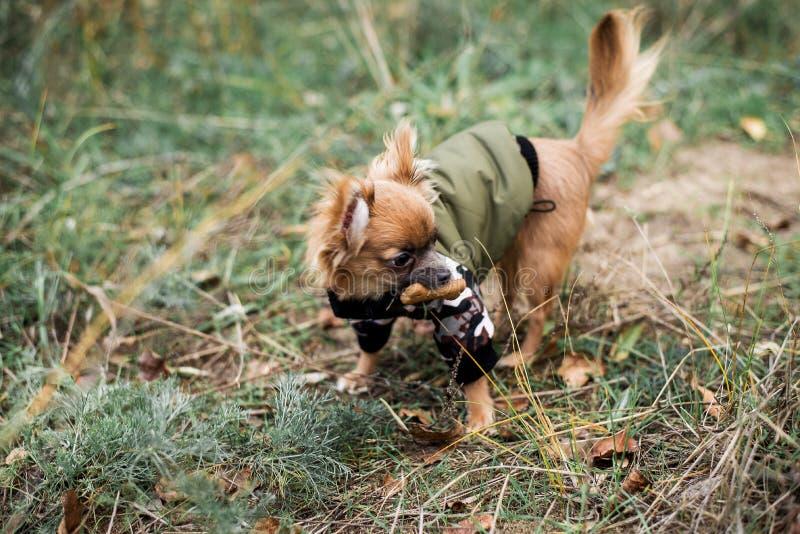 Nätt söt liten chihuahua för liten hund i den utomhus- klänningen för sweater, omslag på höstbakgrunden arkivbilder