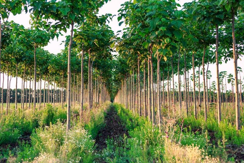 Nätt skogsmark, paulowniaträdkoloni arkivfoton