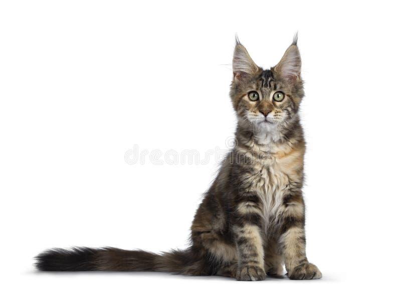 Nätt tortieMaine Coon kattunge på vit royaltyfri fotografi
