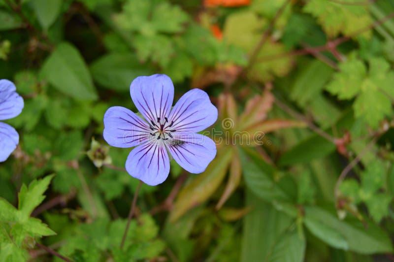 Nätt violett blomma royaltyfria foton