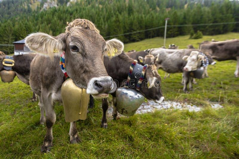 Nätta alpina kor med klockor runt om deras hals, efter den `-Almabtrieb `en från berget har betat tillbaka till byn i höst, Al royaltyfria bilder