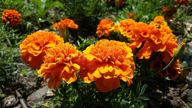 Nätta apelsinblommor royaltyfria bilder