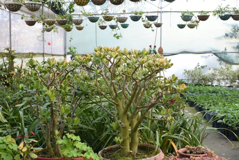 Nätta dekorativa växter som odlas i blomkrukor i en drivhus på en barnkammare eller en lantgård för detaljhandel som hus eller tr fotografering för bildbyråer