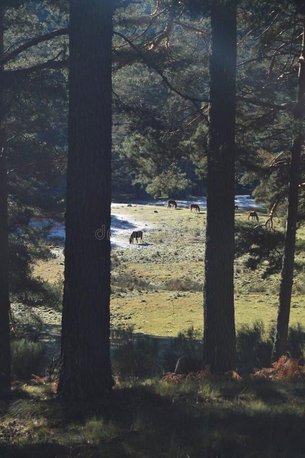 Nätta hästar som betar i den frostiga bergskedjan av Gredos Natur lopp, landskap, djur December 21, 2014 Toppig bergskedja de royaltyfri foto