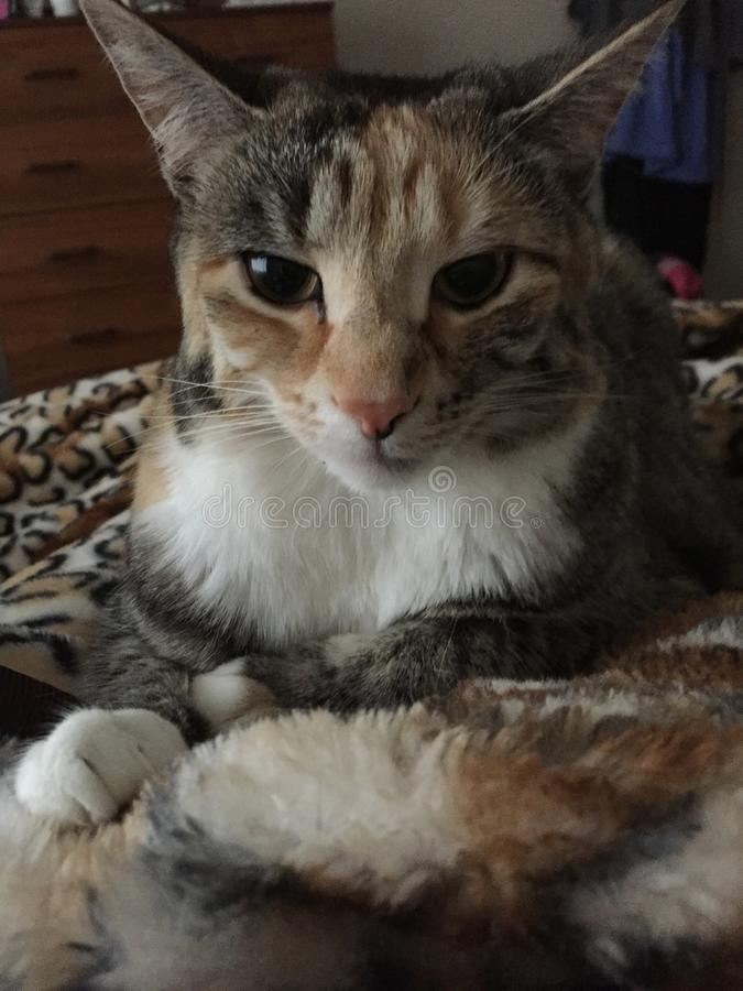 Nätta Junior Tabby Girl Cat Relaxing royaltyfri fotografi