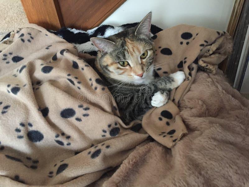 Nätta Junior Tabby Tortoishell Female Cat fotografering för bildbyråer